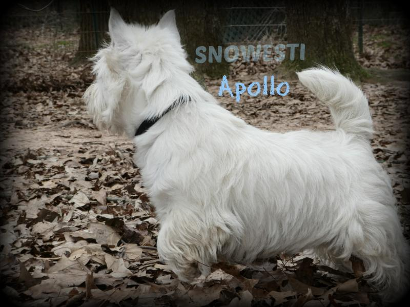 SNOWESTI - Beautiful imported Westies  CH bloodlines, NE Atlanta GA